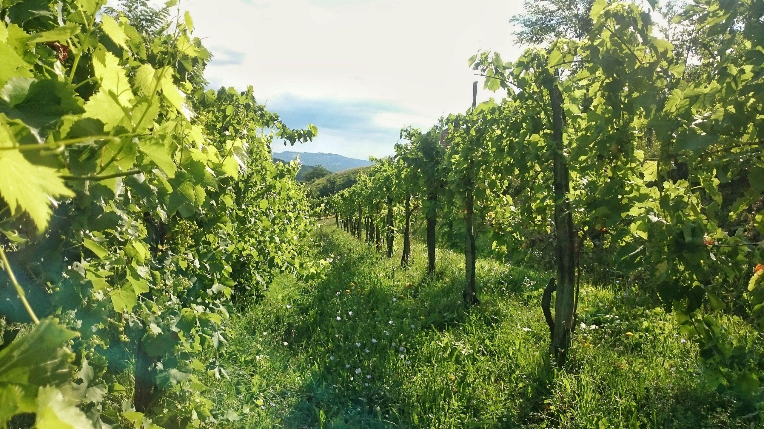 Odlok o finančnem nadomestilu zaradi izpada dohodka v proizvodnji vina