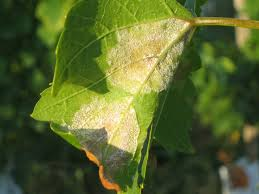 Obvestilo za varstvo vinske trte – 14