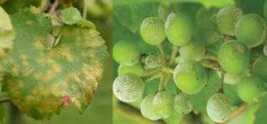 Obvestilo za varstvo vinske trte – 12