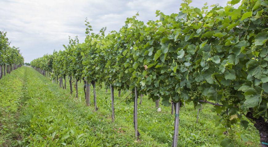 Obvestilo za varstvo vinske trte – 08