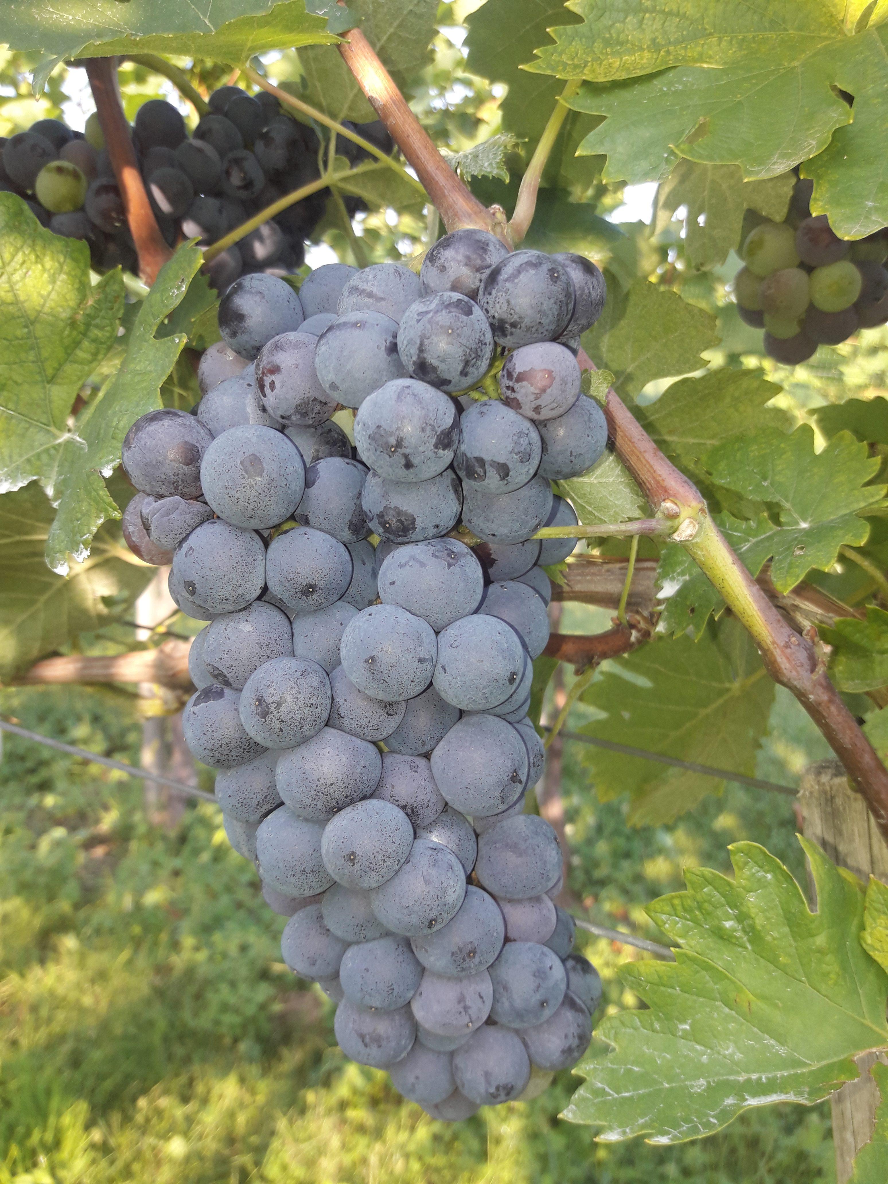 Spremljanje dozorevanja grozdja – Dolenjska 6. teden