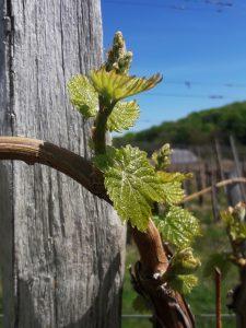 Obvestilo za varstvo Vinske trte – 02