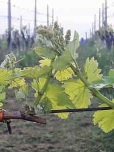 Obvestilo za varstvo vinske trte – 03 in nasveti ob spomladanski pozebi