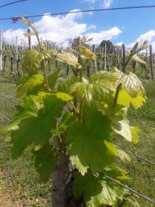 Obvestilo za varstvo vinske trte – 04