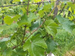 Oskrba vinogradov spomladi