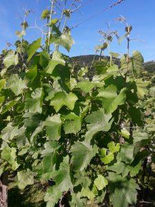 Obvestilo za varstvo vinske trte – 09