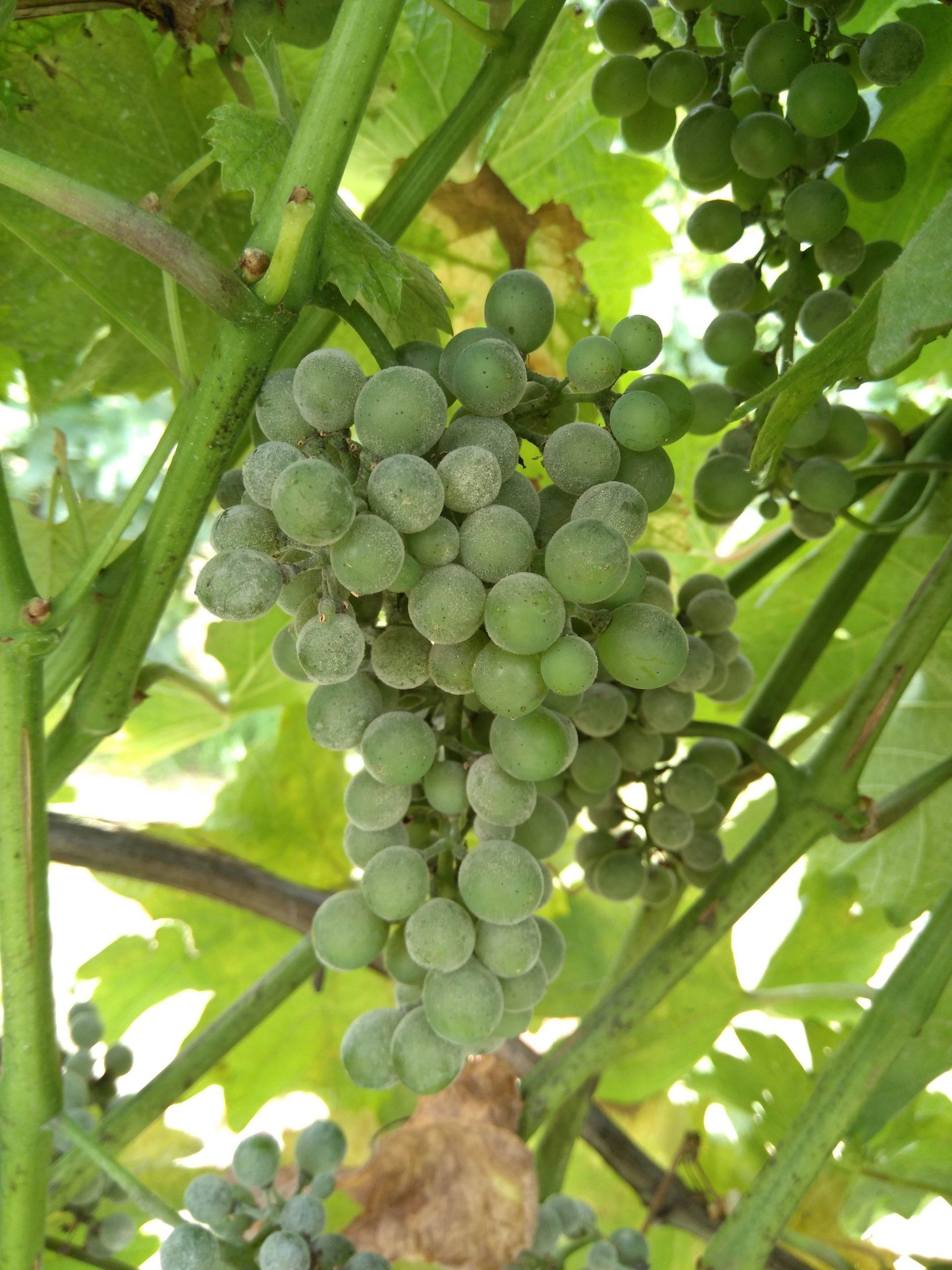 Obvestilo za varstvo vinske trte – 13