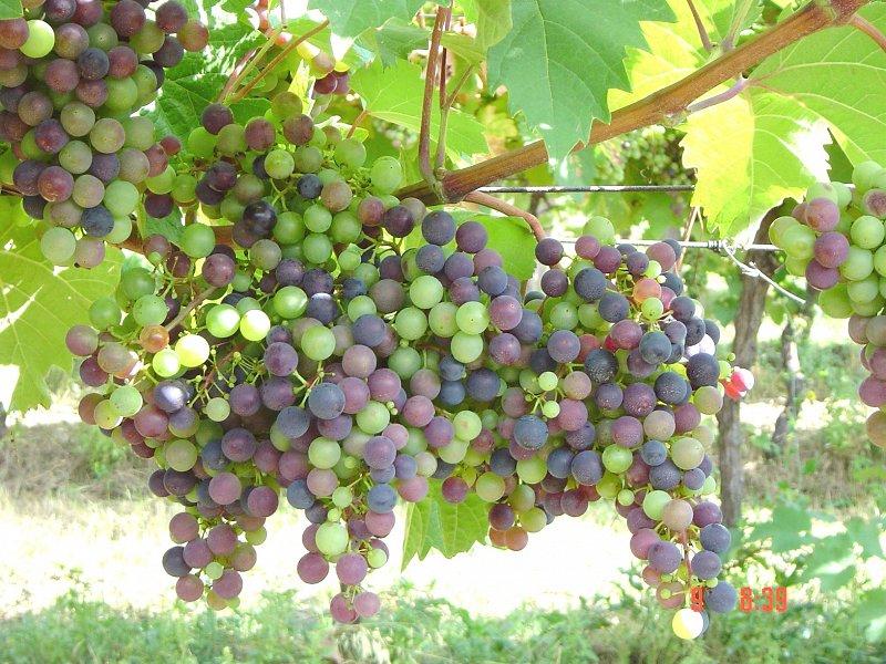 Obvestilo za varstvo vinske trte z dne 18. 8. 2020