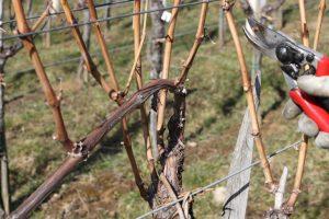 Rez vinske trte v letu 2021 ter bolezni in napake vina